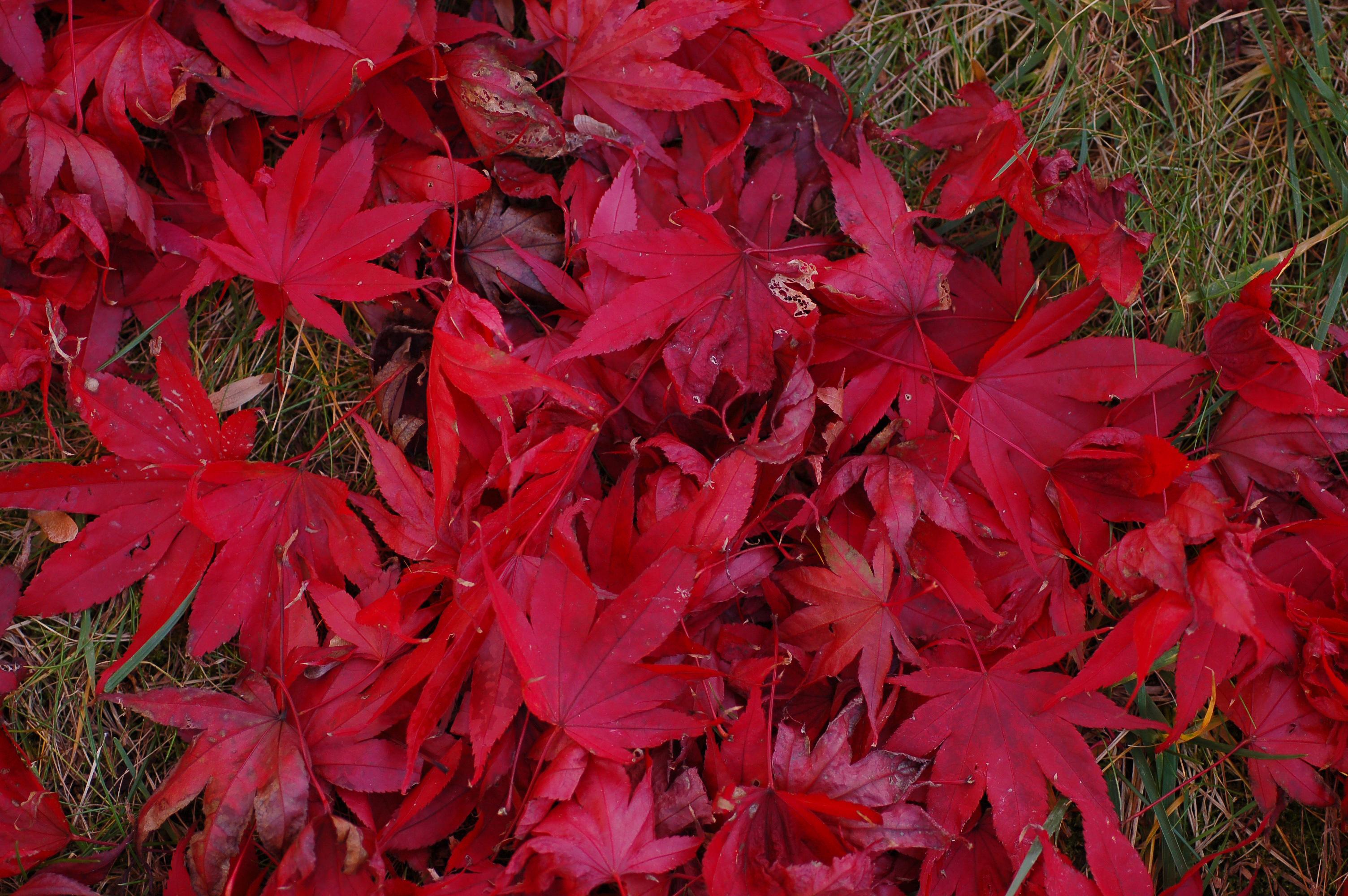 Filejapanese Maple Acer Palmatum Ground Leaves 3008pxjpg