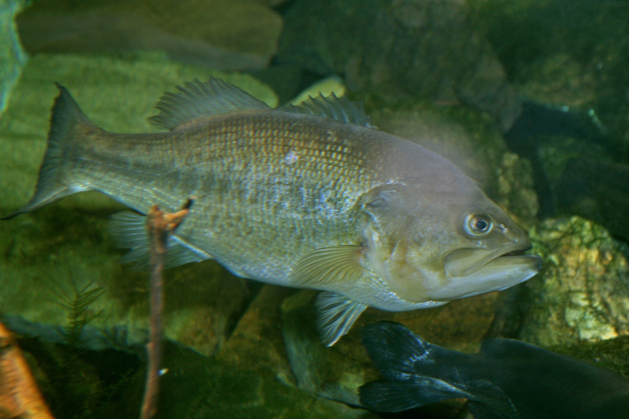 File largemouth bass micropterus salmoides jpg for Bass fish pictures