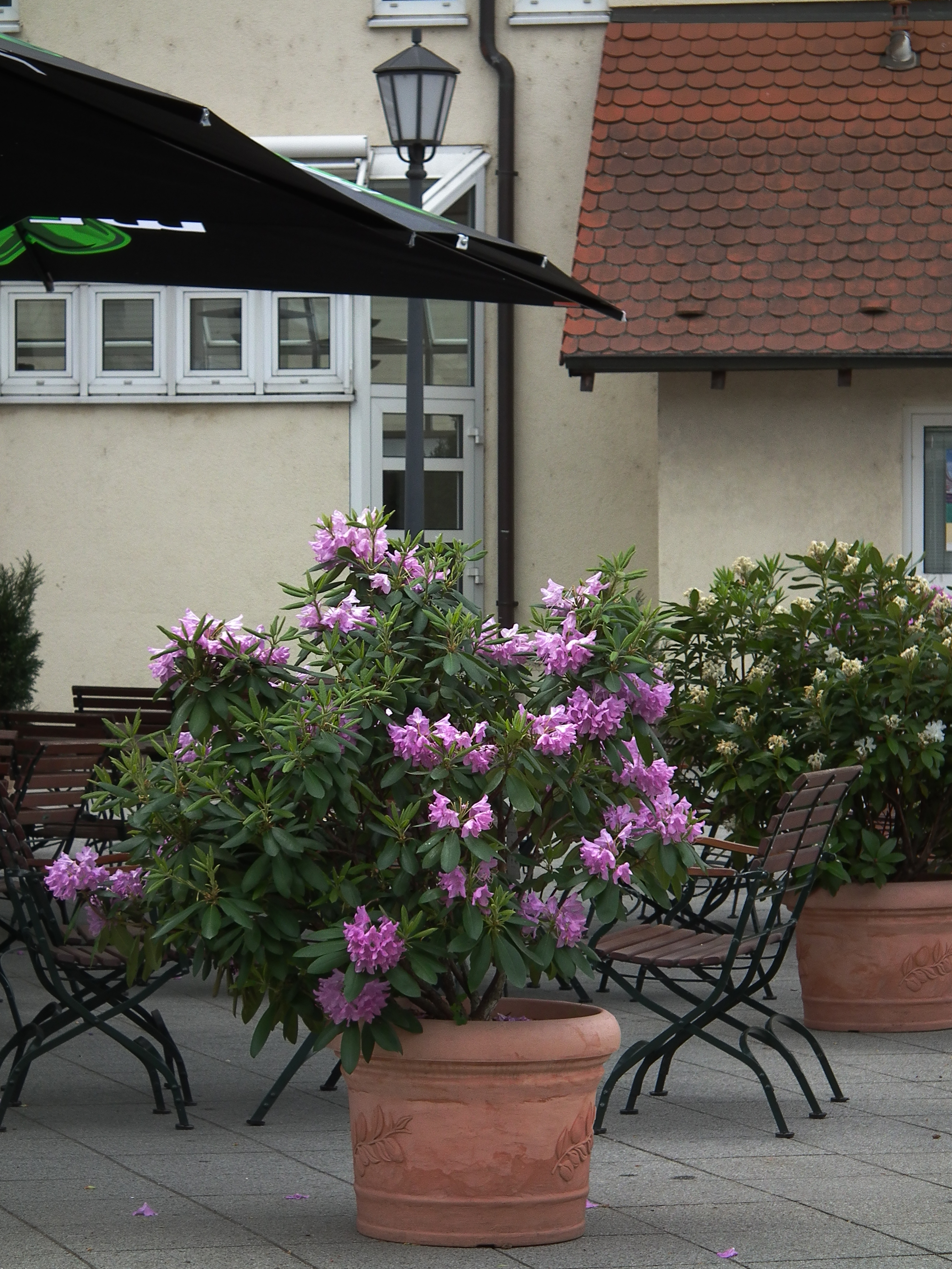 file lila rhododenron im k bel jpg wikimedia commons. Black Bedroom Furniture Sets. Home Design Ideas