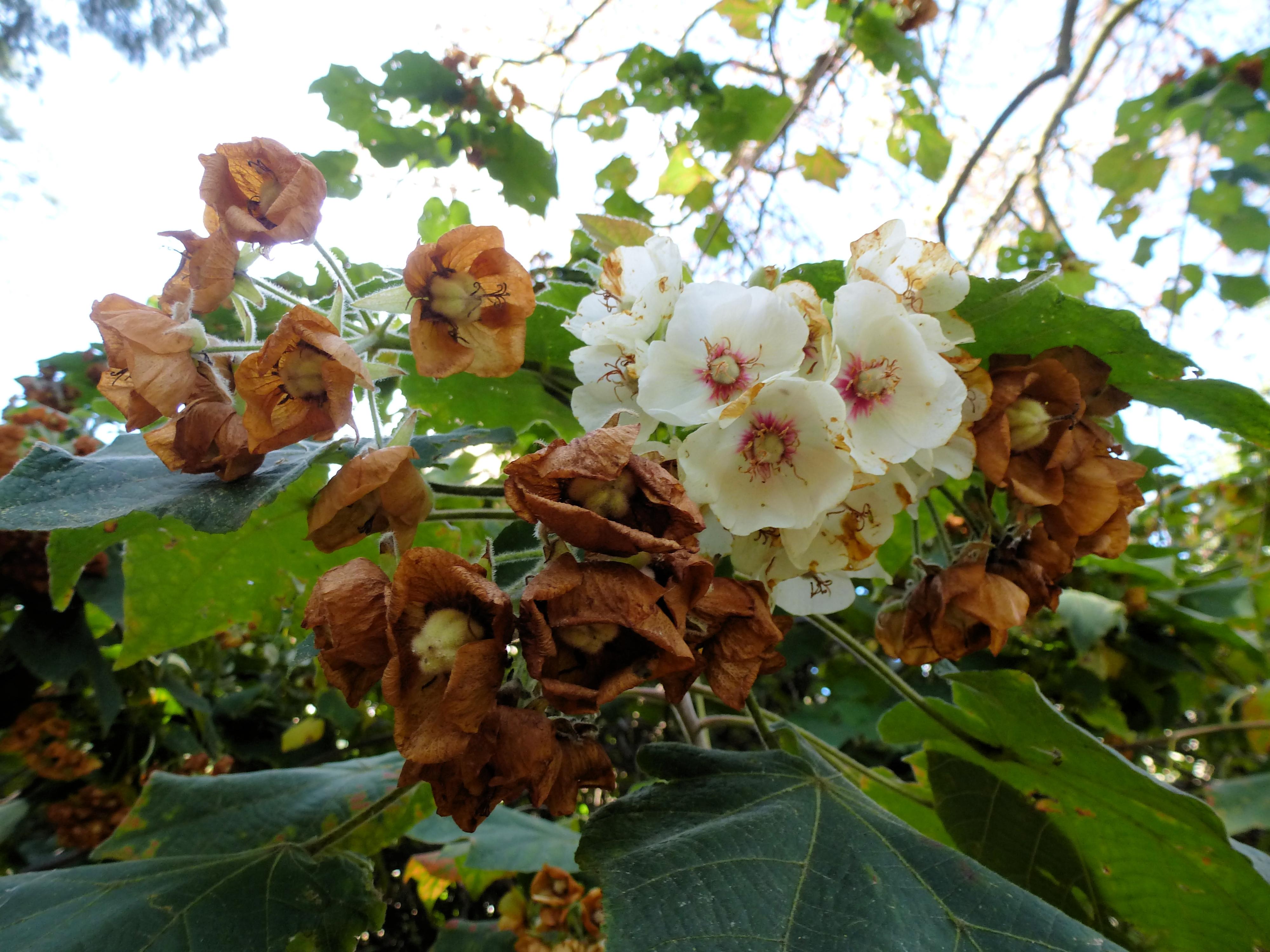 File:Lisbon botanical garden-Dombeya burgessiae-flowers.JPG ...