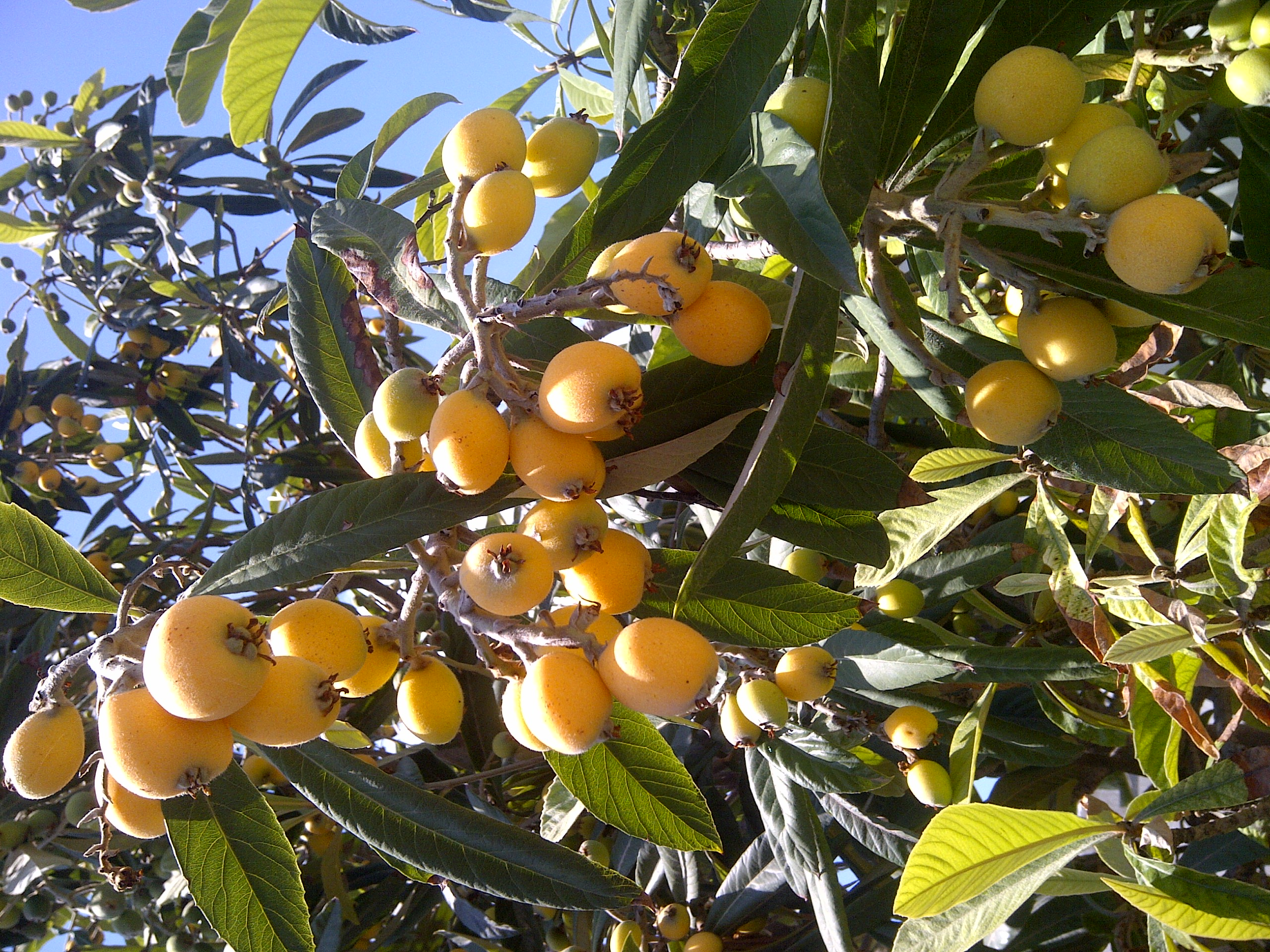 Pictures Of Loquat Leaves
