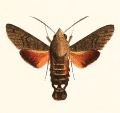 Sưu tập Bộ cánh vẩy  - Page 41 Macroglossum_gyrans_1894