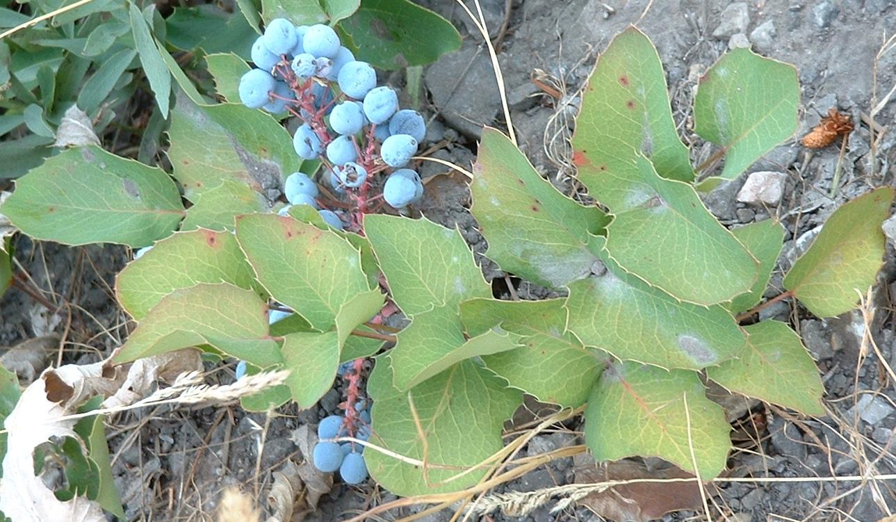 rare fruiting plant Mountain Grape MAHONIA CONFUSA shrub