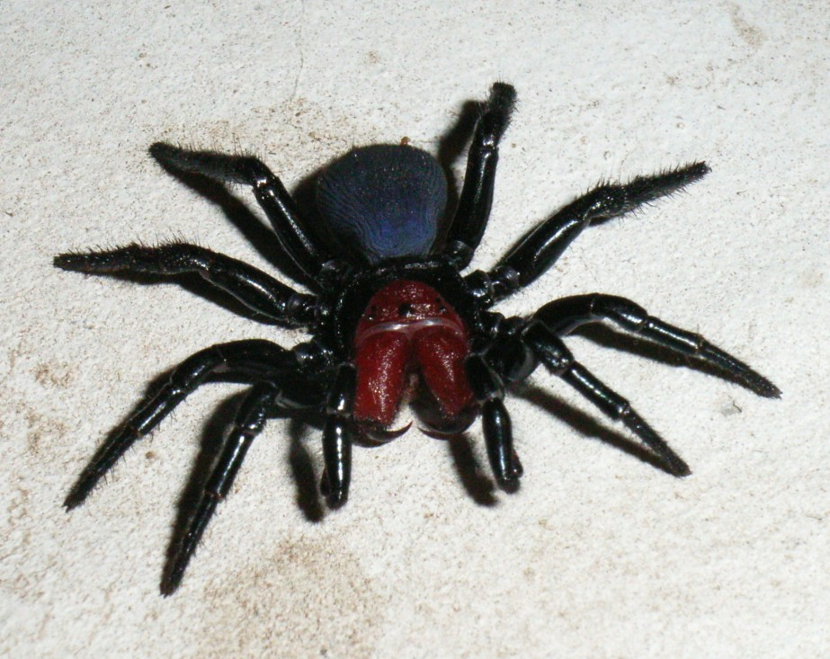 File:Male Mouse Spider.jpg - Wikipedia ...
