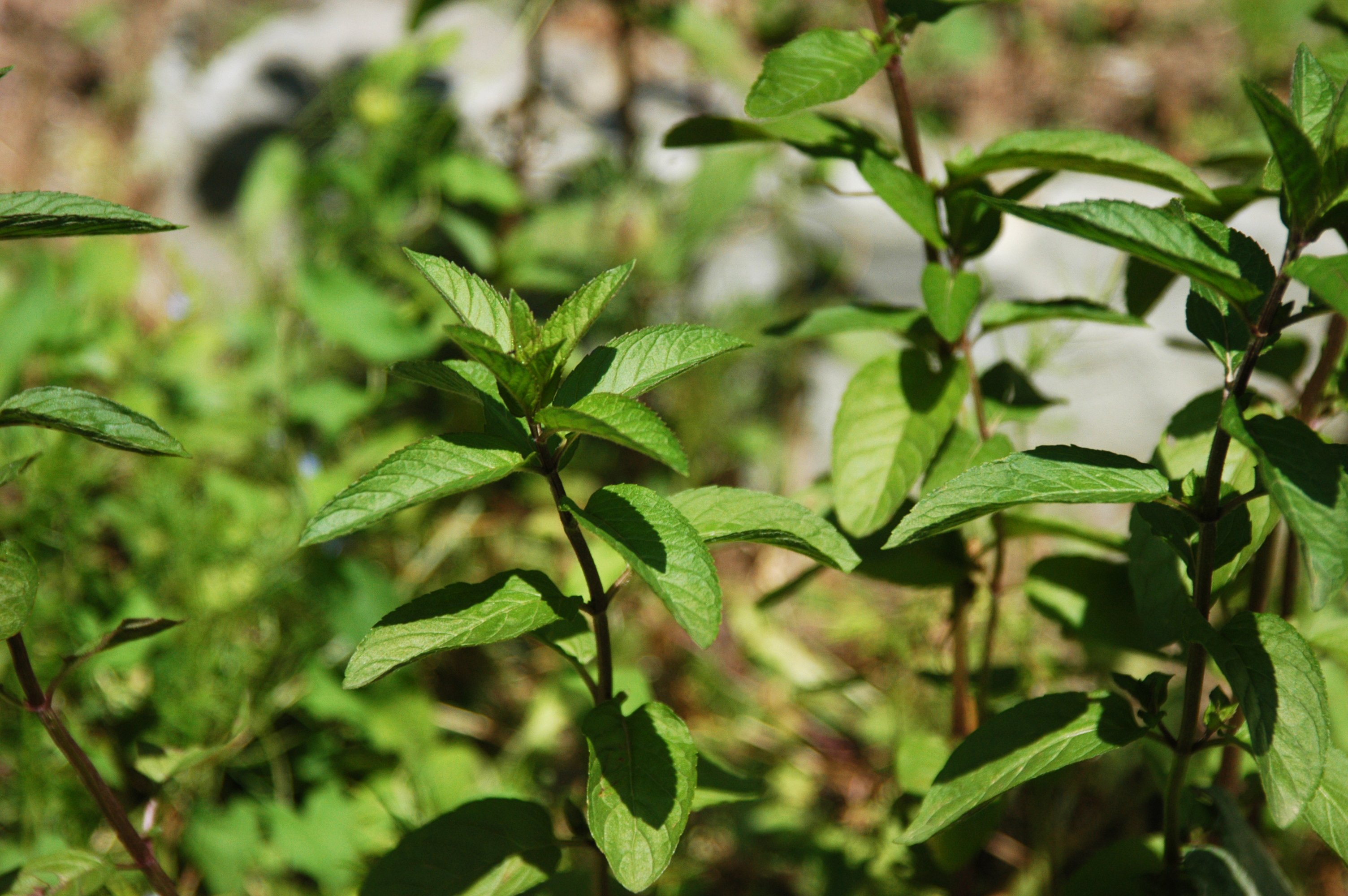 File:Mentha piperita - Pfefferminze.jpg - Wikipedia