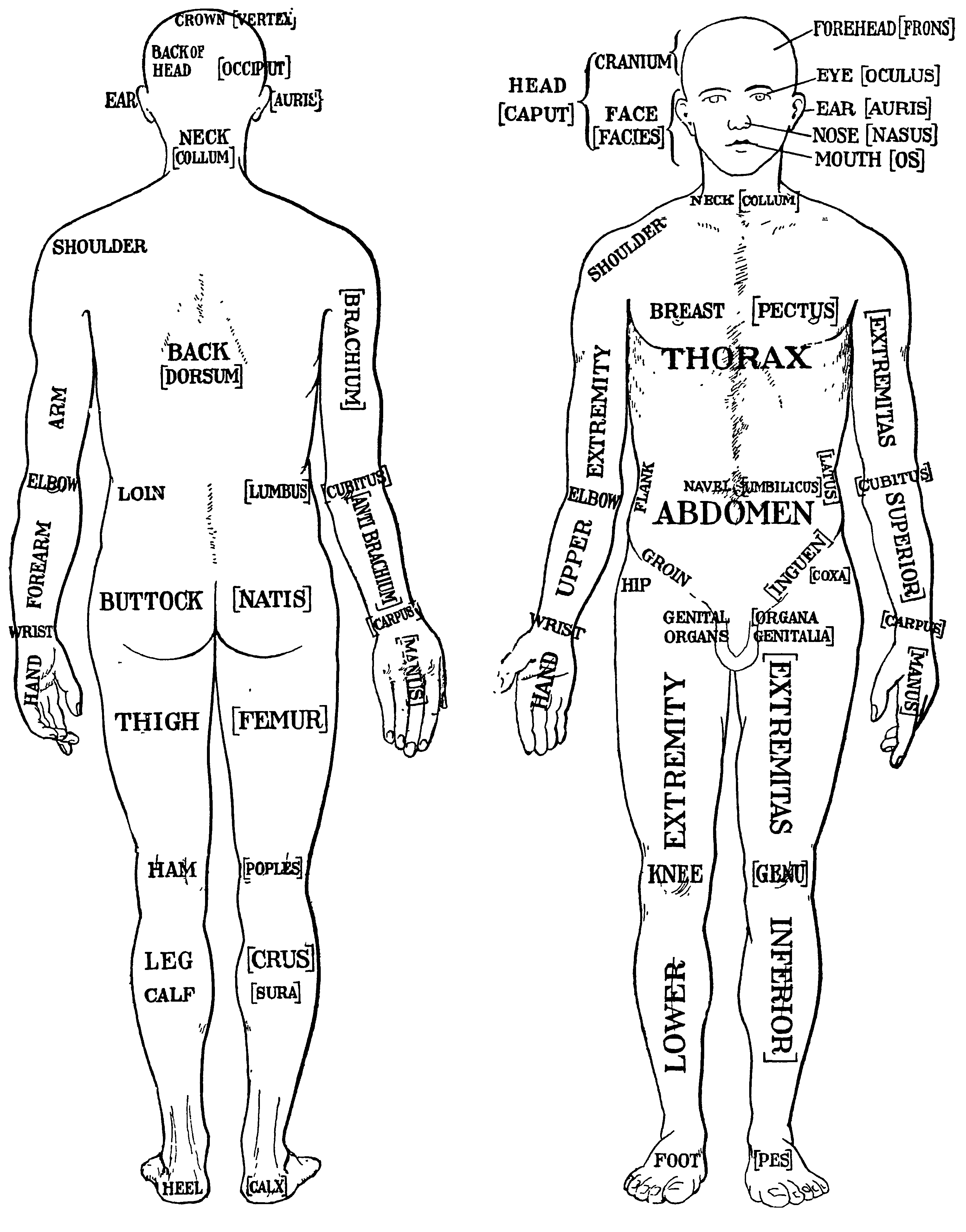 List Of Human Anatomical Regions Wikiwand