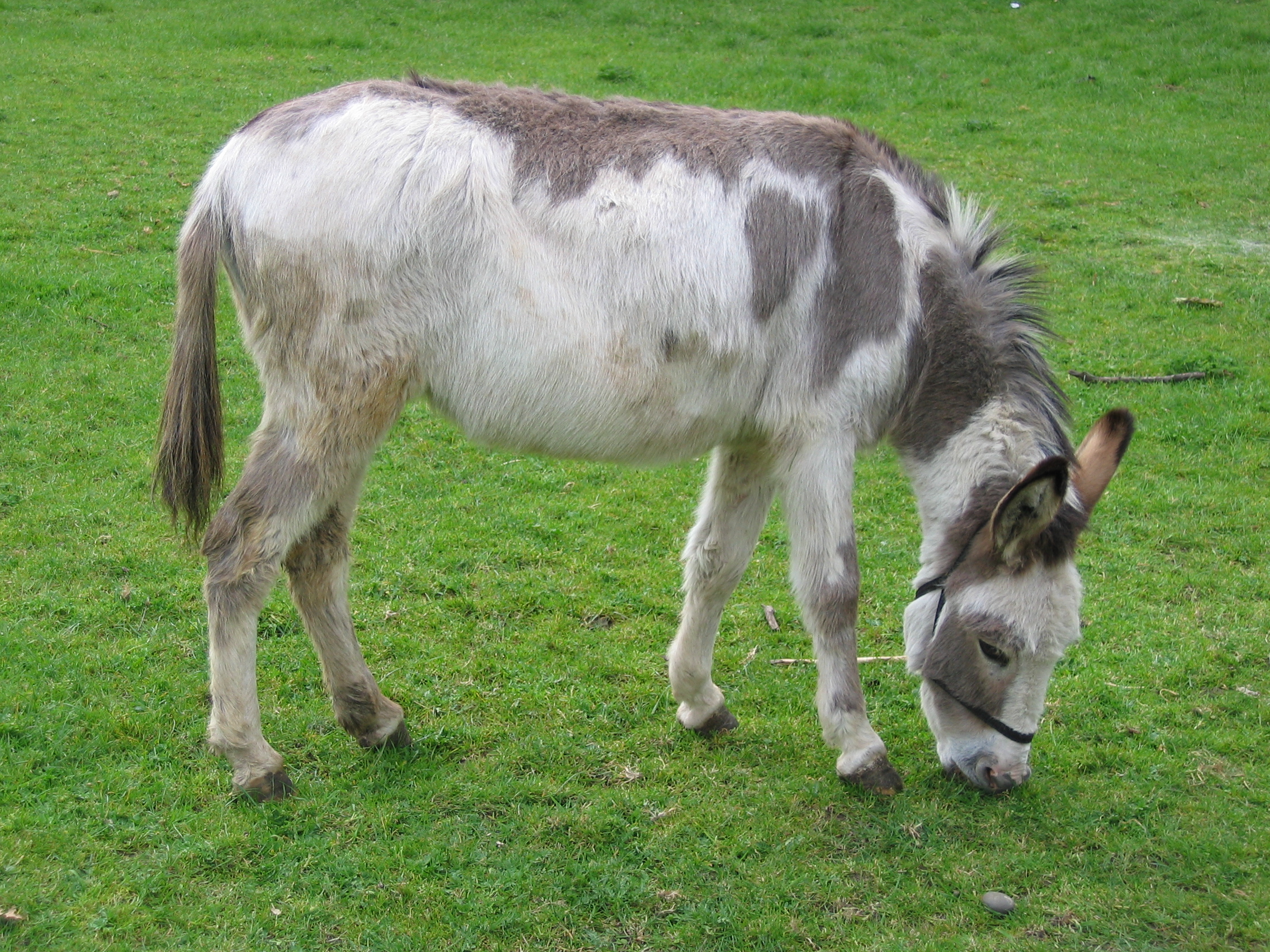 Farm donkeys - photo#2