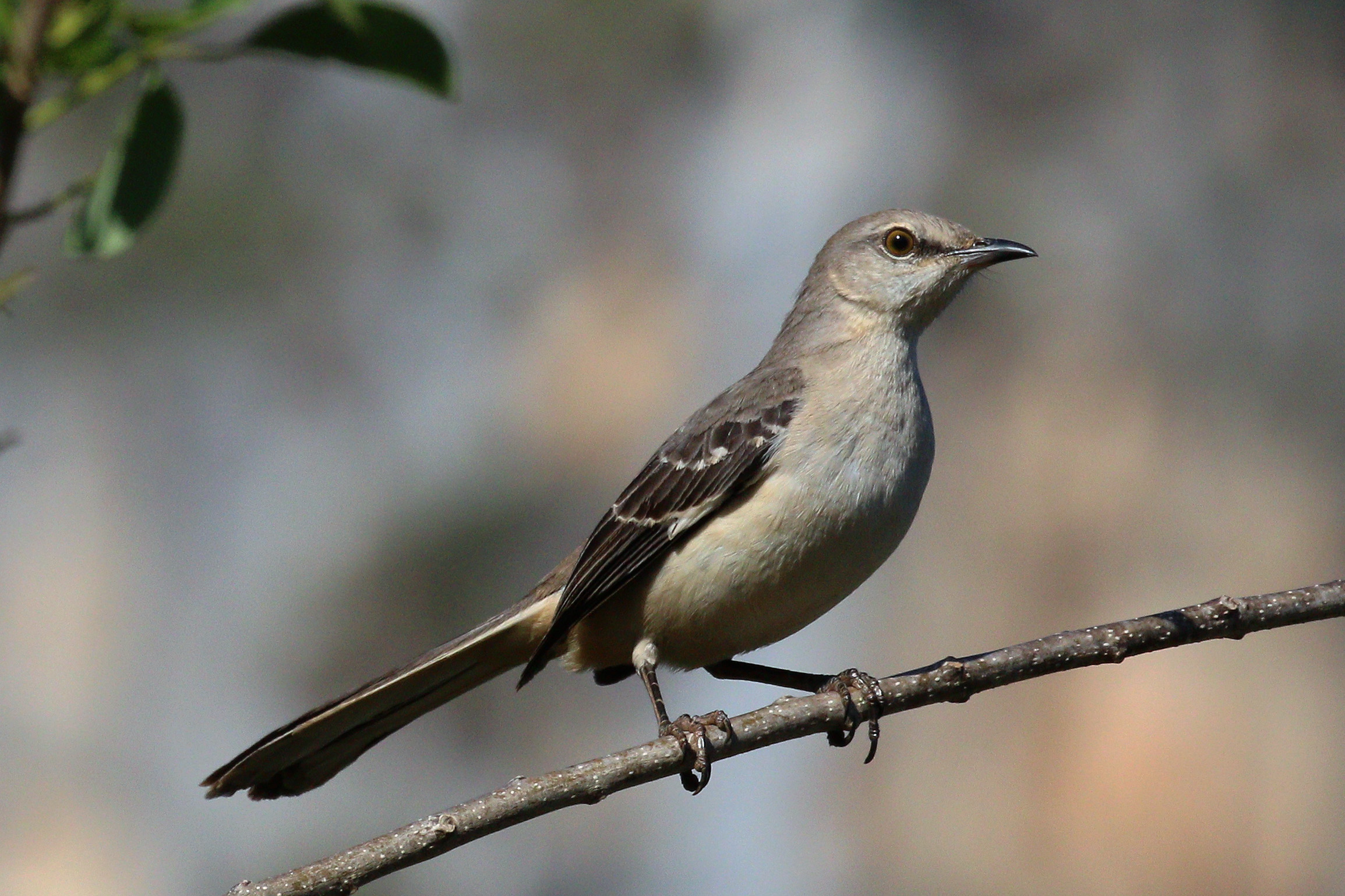 FileNorthern Mockingbird Mimus Polyglottos Orpheus CuJPG