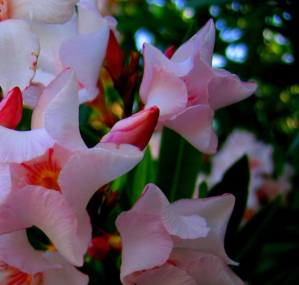 Oleander Flower Meaning Meaning of Flowers o Oleander
