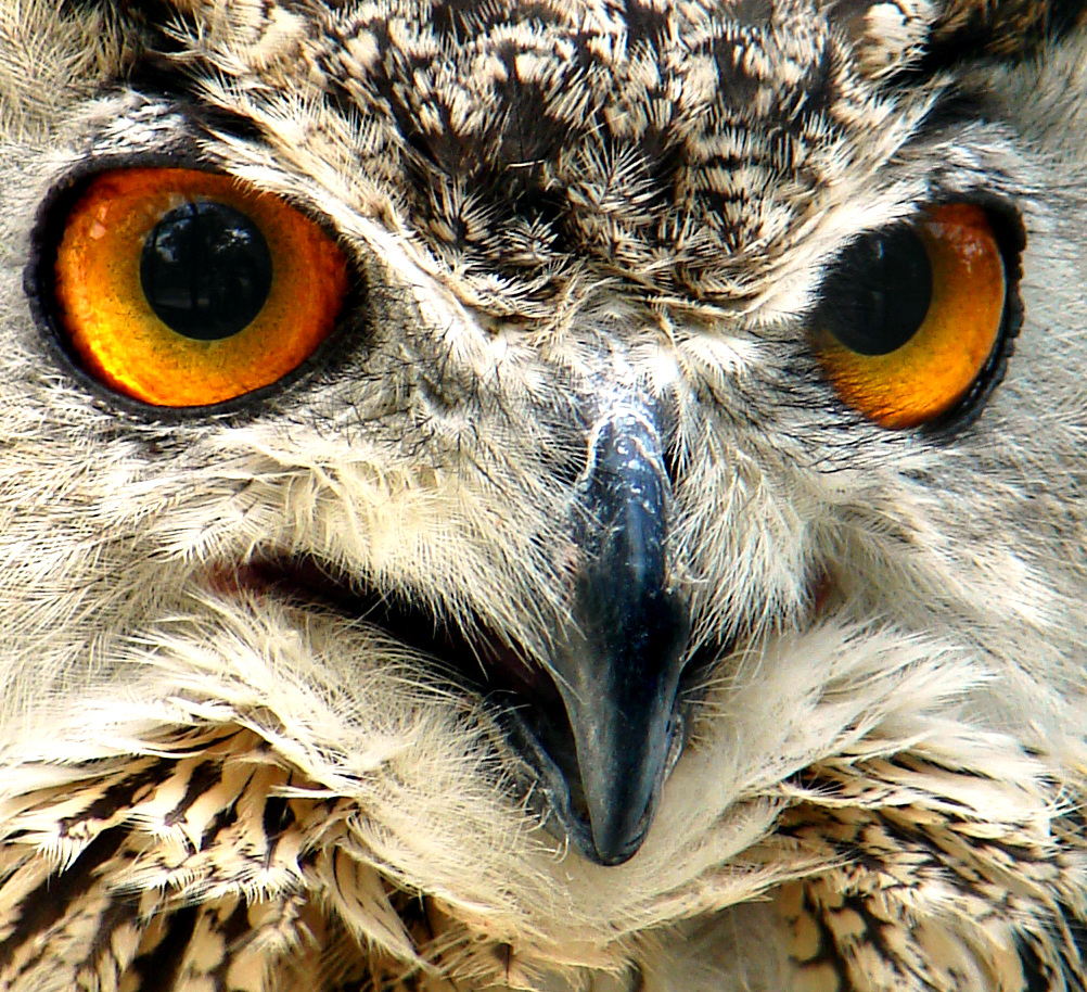 File:Owl face closeup....