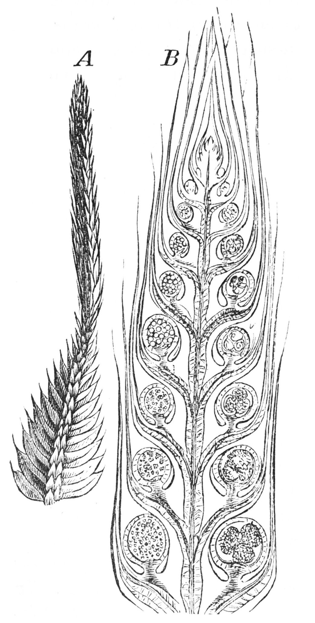 PSM V25 D176 Enlarged spore bearing branch of the club moss.jpg