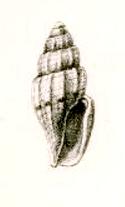 <i>Persicula</i> genus of molluscs