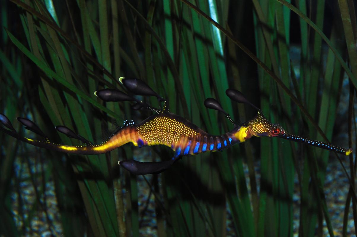 60 spectacular seahorses and seadragons pics