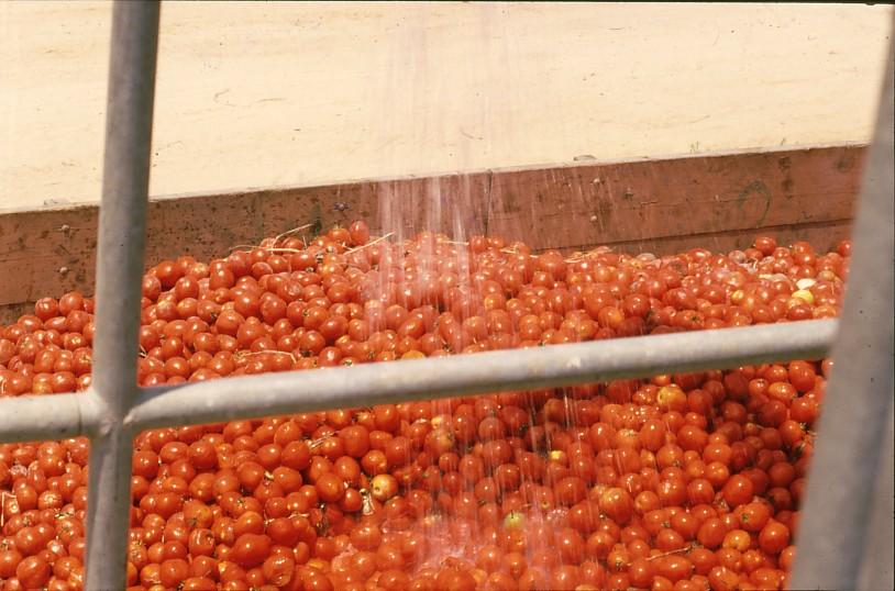 גן-שמואל-מיכל עגבניות לאחר הקטיף 1990-9