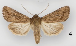Protorthodes eureka - Wikipedia