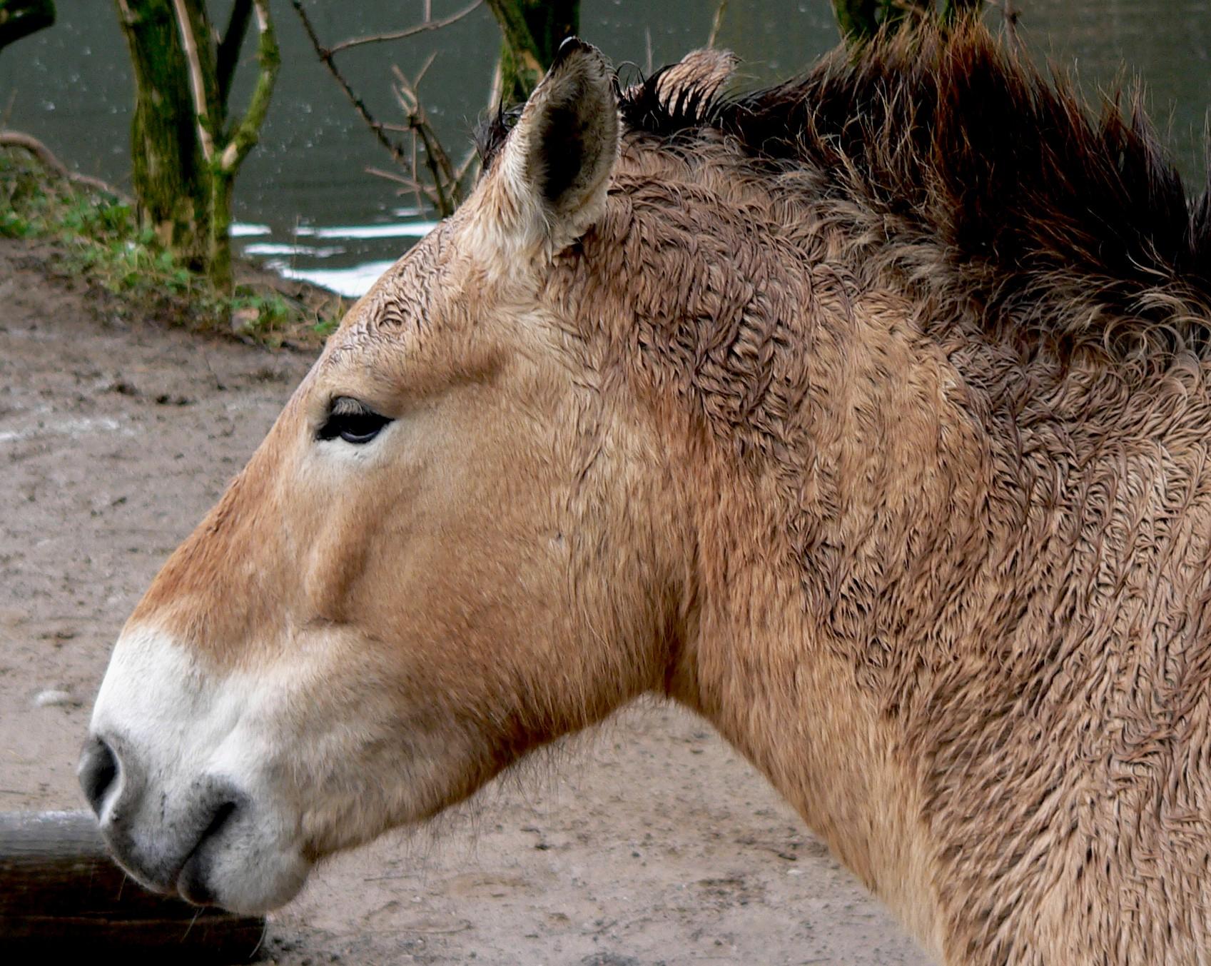 Przewalski Pferd Reiten Eines Przewalski-pferdes