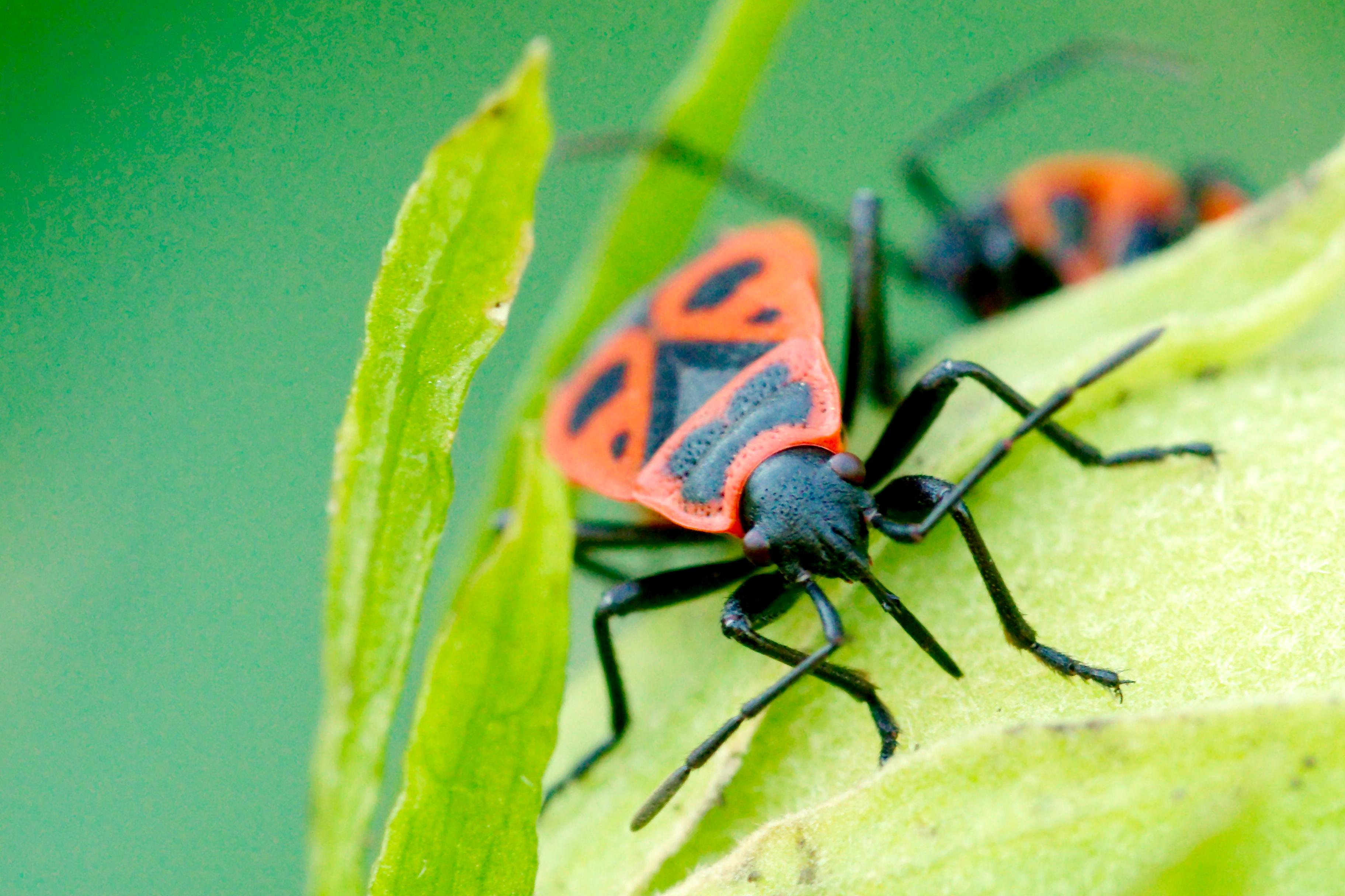 Gendarme insecte for Insecte attaquant le bois