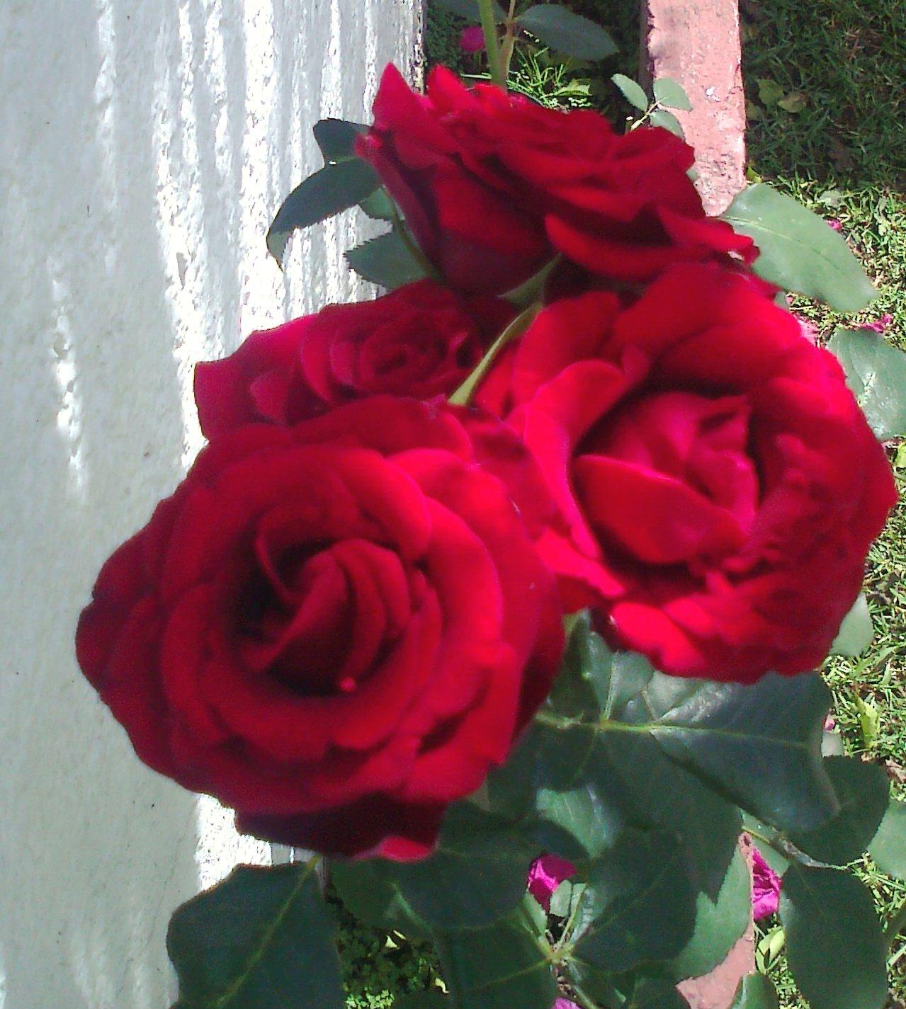 El significado de regalar rosas rojas