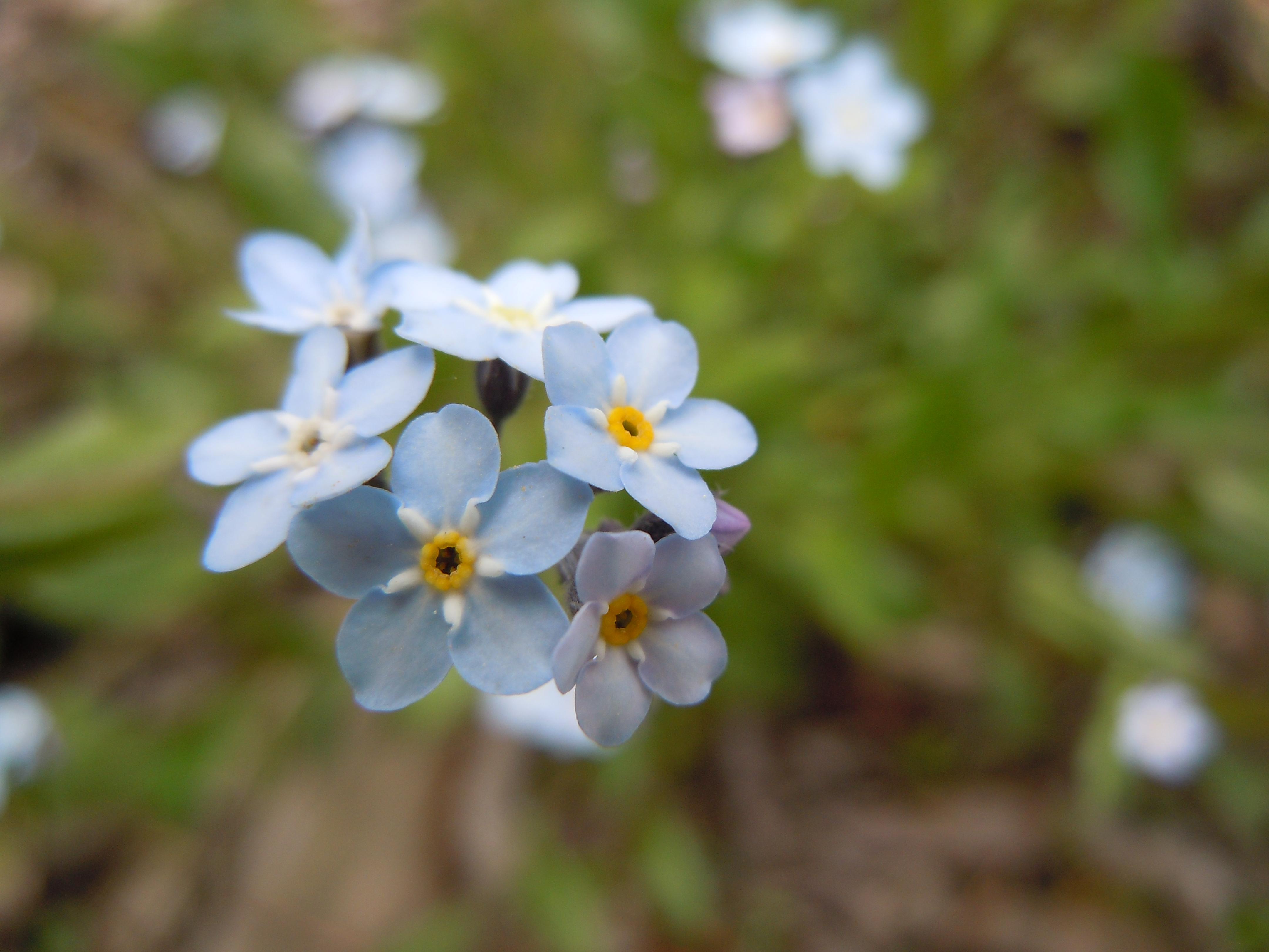 File Romanian Flora Wild blue small flower 05 JPG