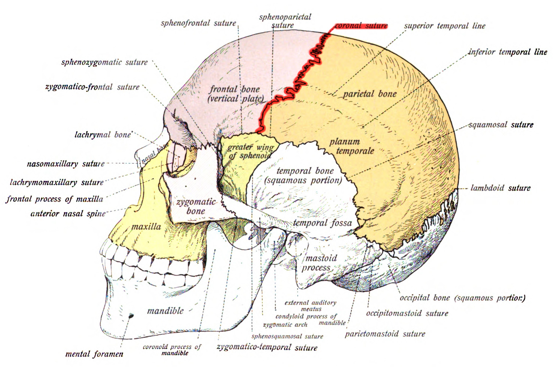 File:Sobo 1909 39 - Coronal suture.png - Wikimedia Commons