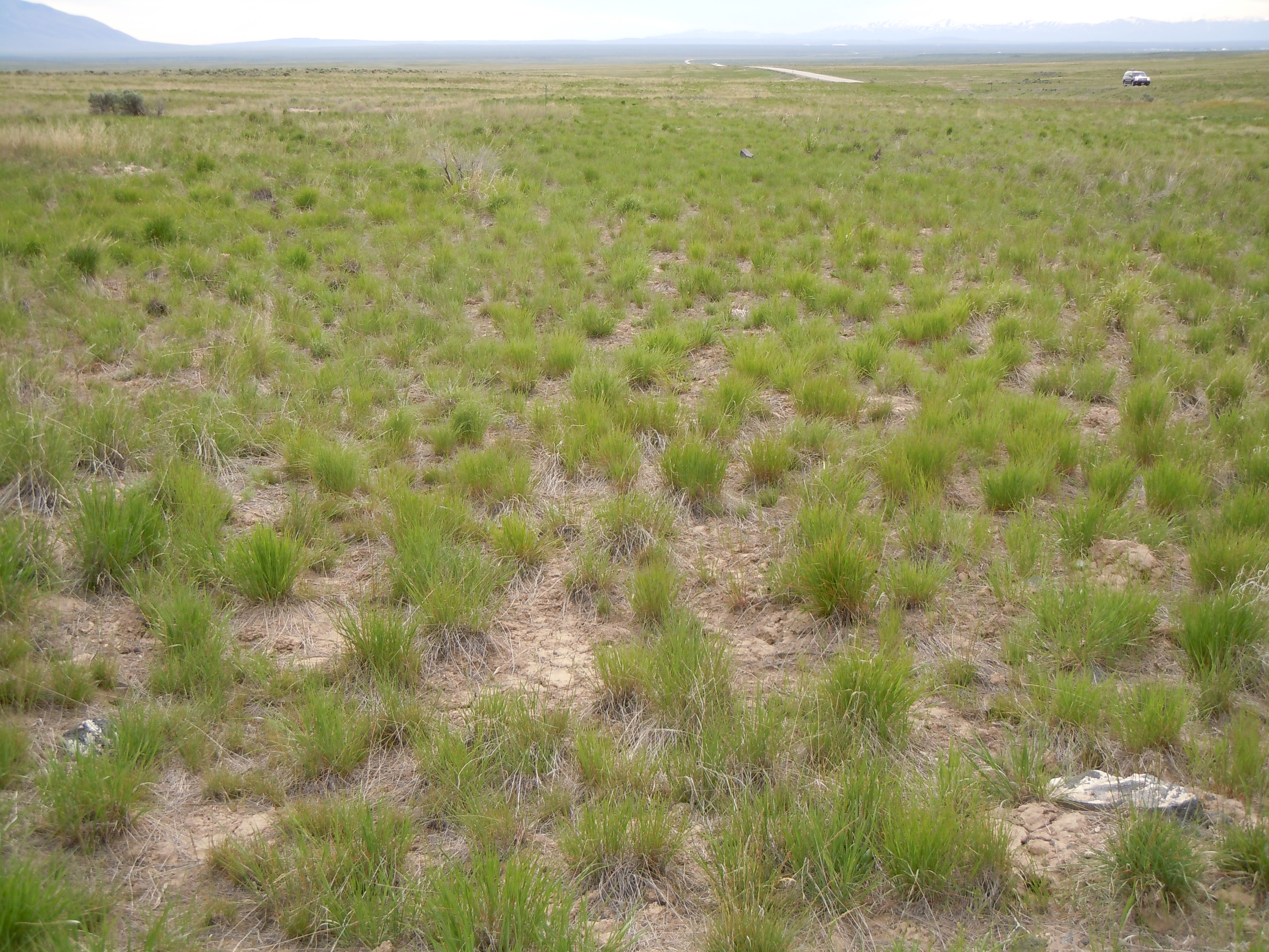 What plants grow in the steppes of Russia