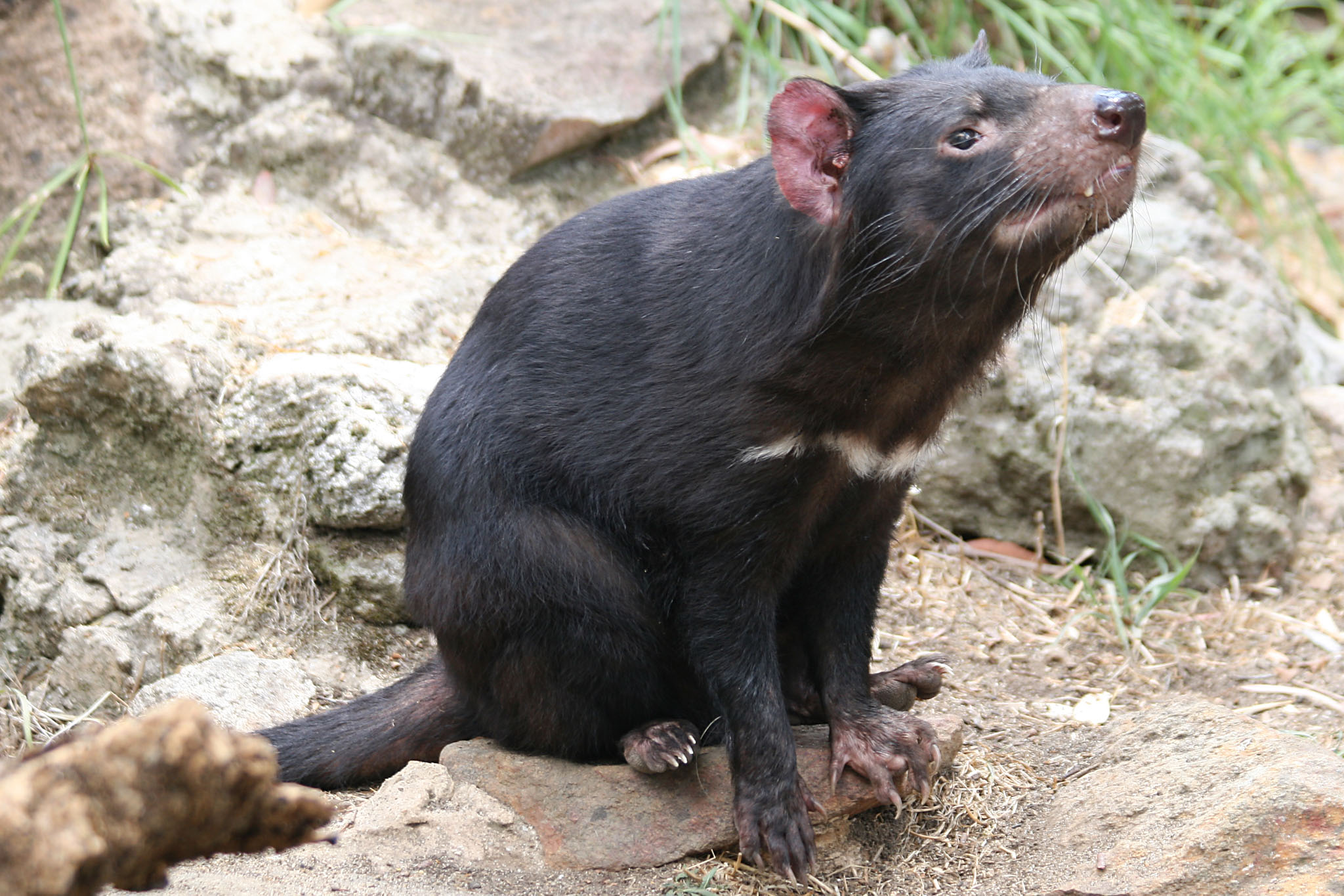 10 Facts About The Tasmanian Devil