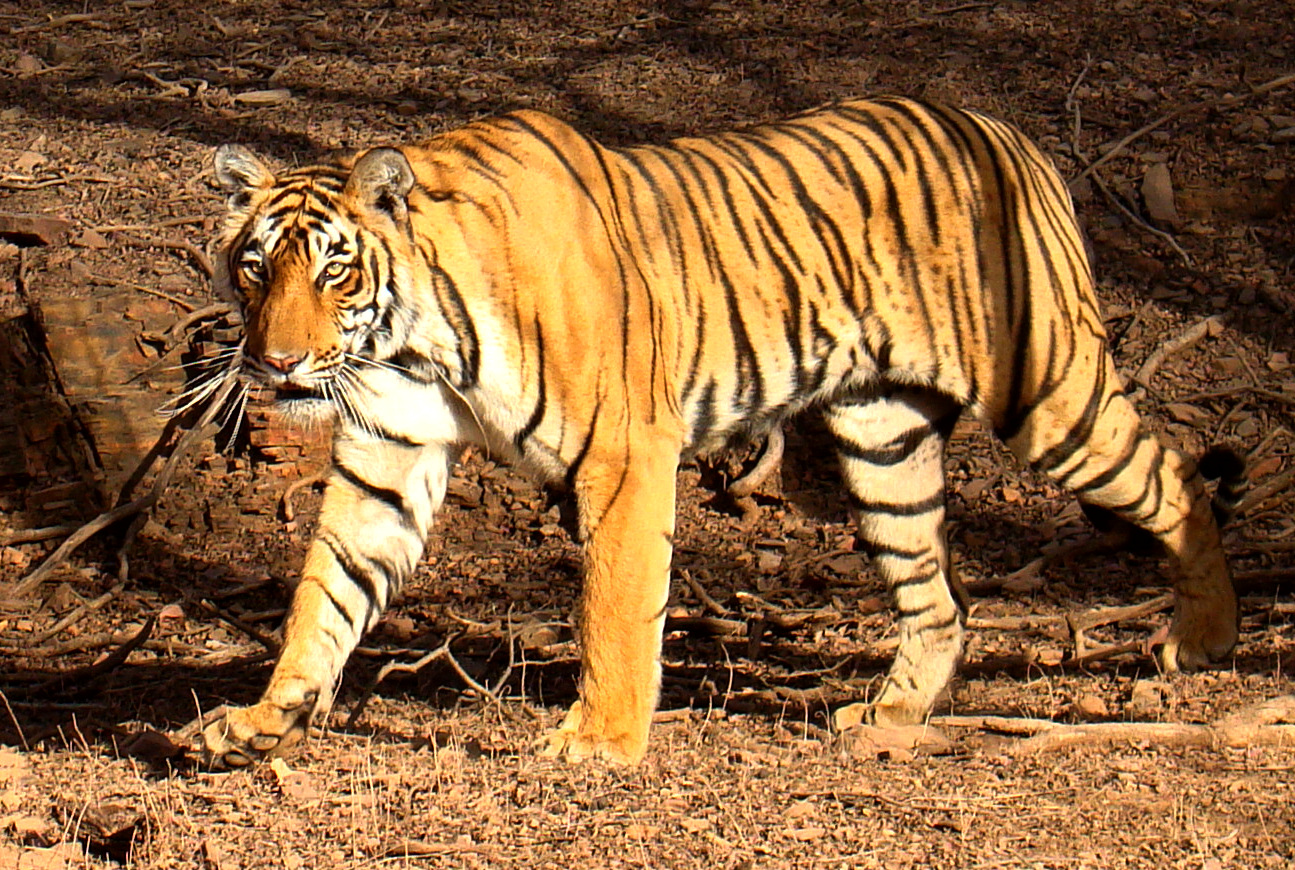 Description Tiger in Ranthambhore.jpg