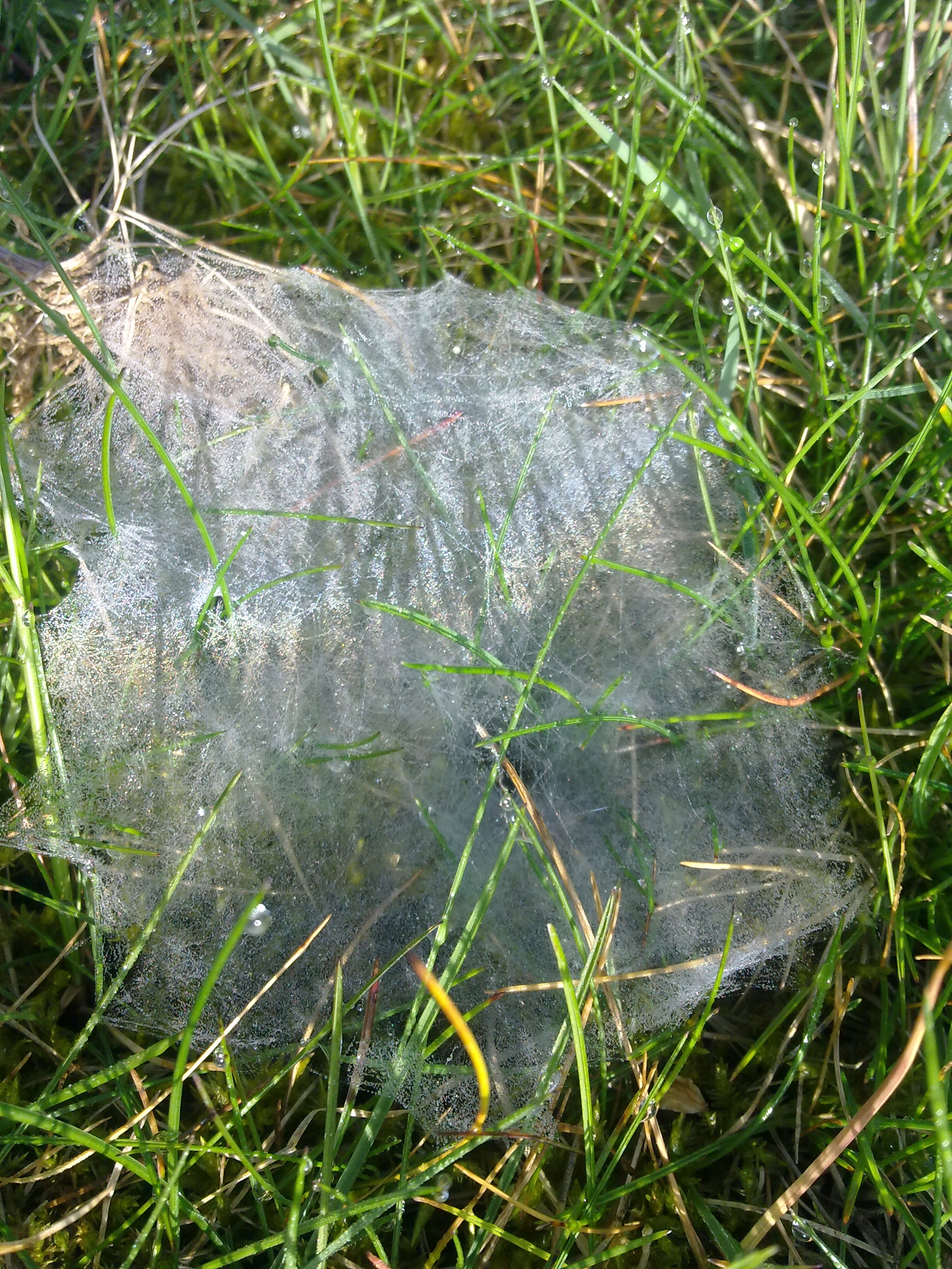 file toile d araign 233 e dans l herbe 224 grez doiceau 004 jpg wikimedia commons