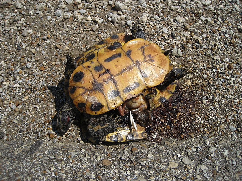 Turtle Roadkill