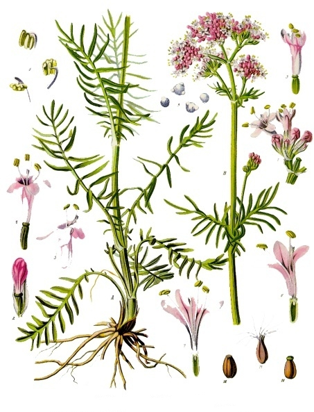 Valériane Par Franz Eugen Köhler, Köhler's Medizinal-Pflanzen (List of Koehler Images) [Public domain], via Wikimedia Commons