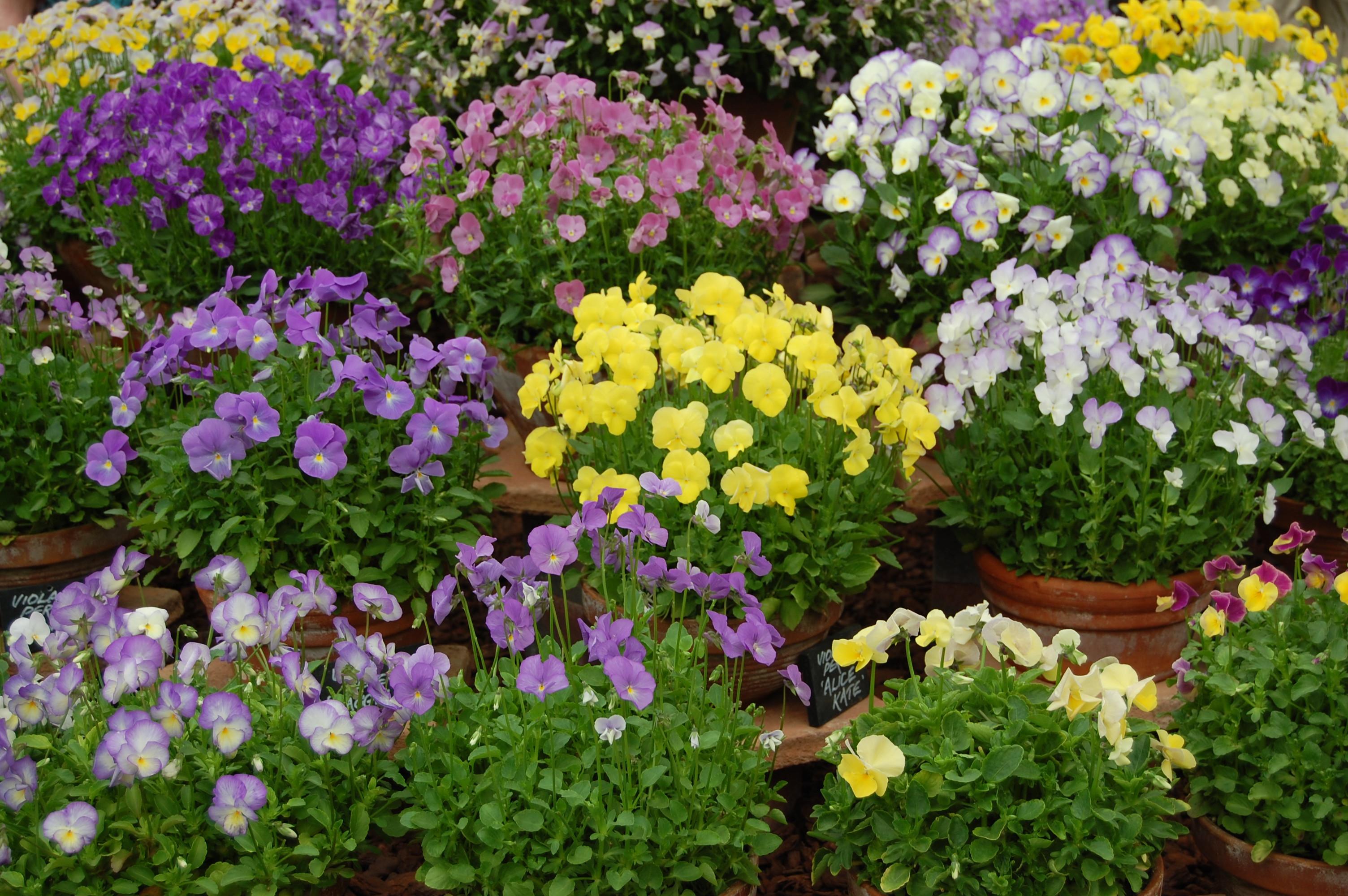 Viola Plant Wikiwand