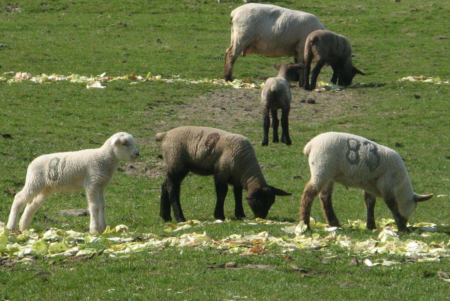 Schafe auf Kohlfeld. Ohne Deutschlandunk.
