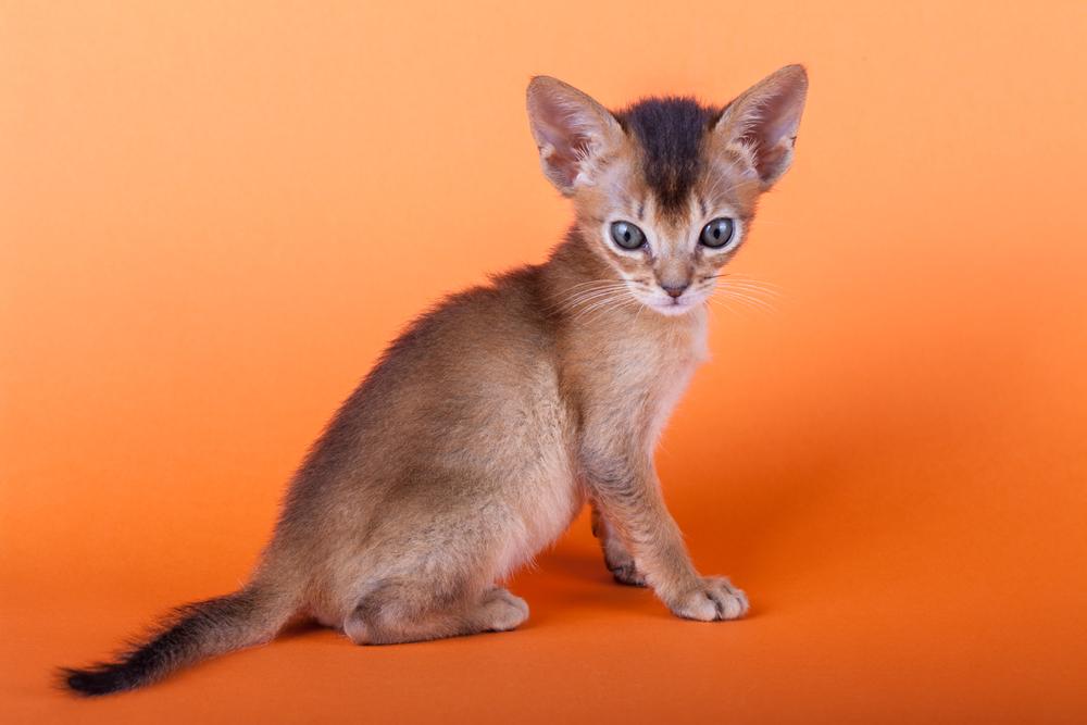 File:Abyssinian cat 01 jpg - Wikimedia Commons