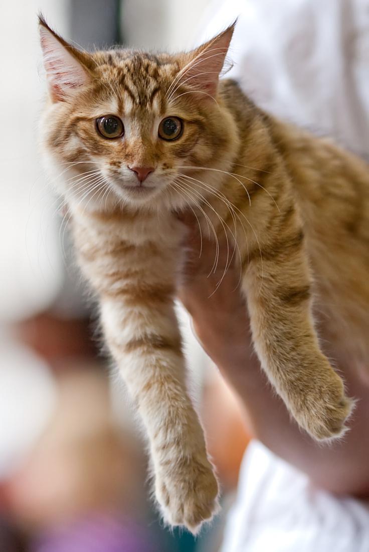 norská lesní kočka s jantarovou kresbou