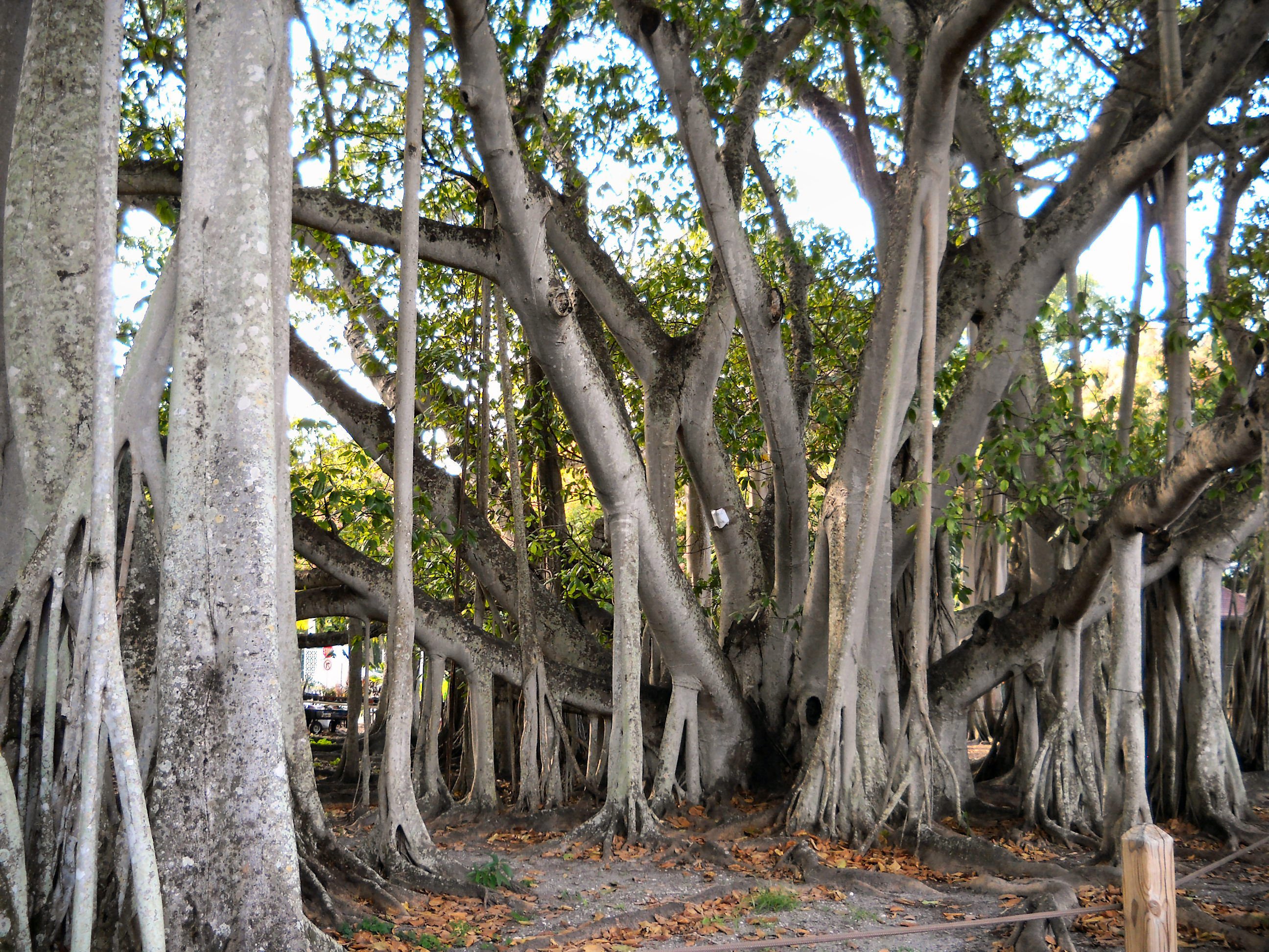 File banyan tree fort wikimedia commons for Florida cool