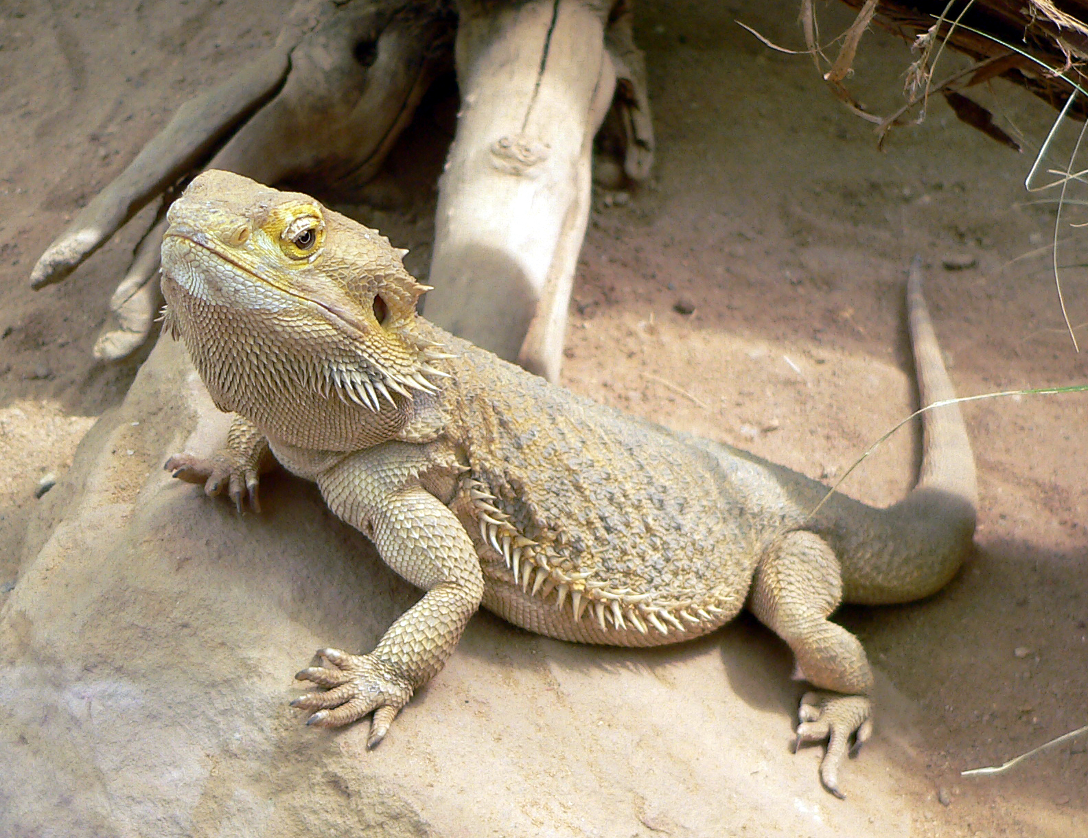 K Dragon Lizard Reptiles for KS1 and K...