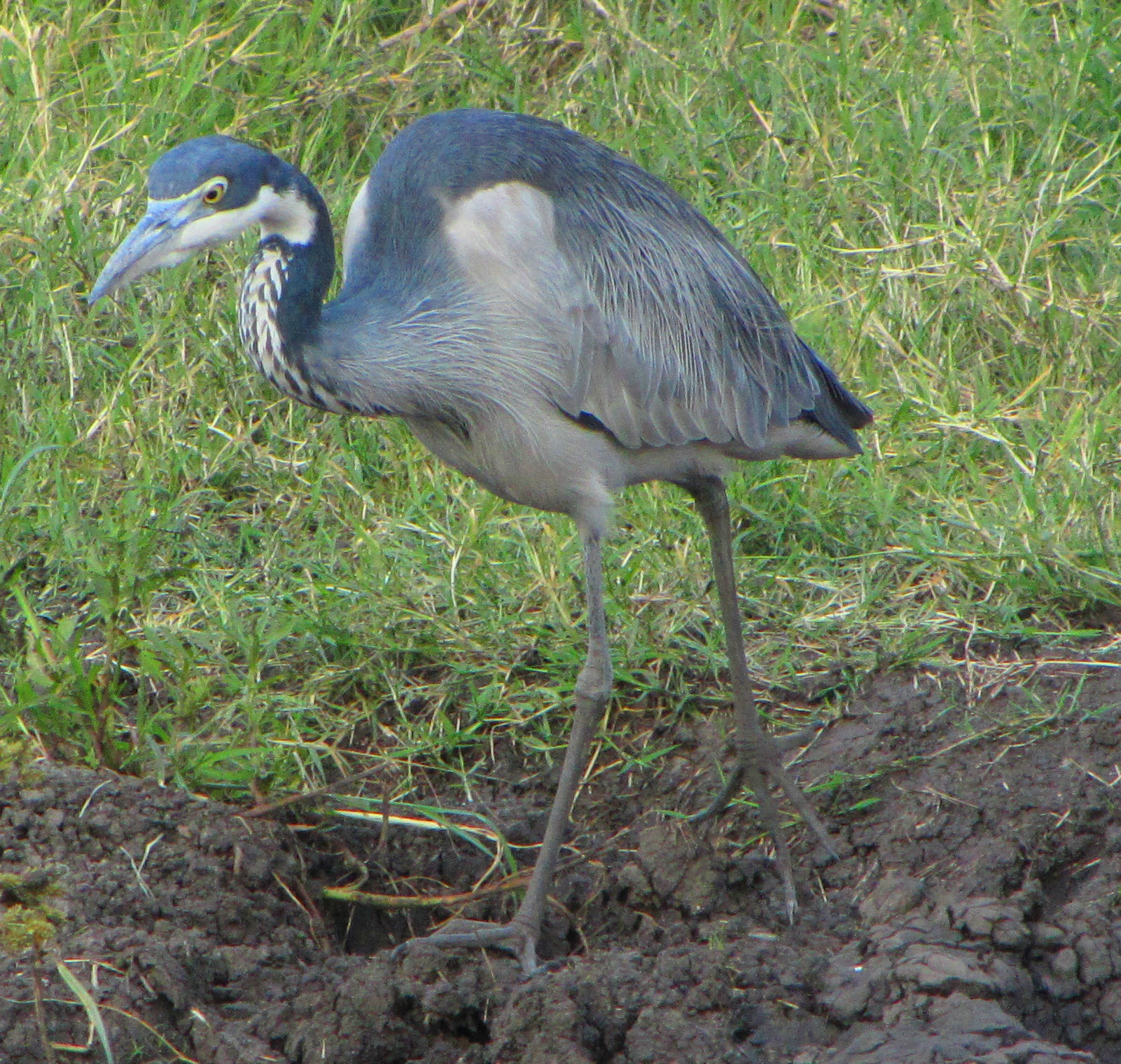 Black headed heron - photo#3