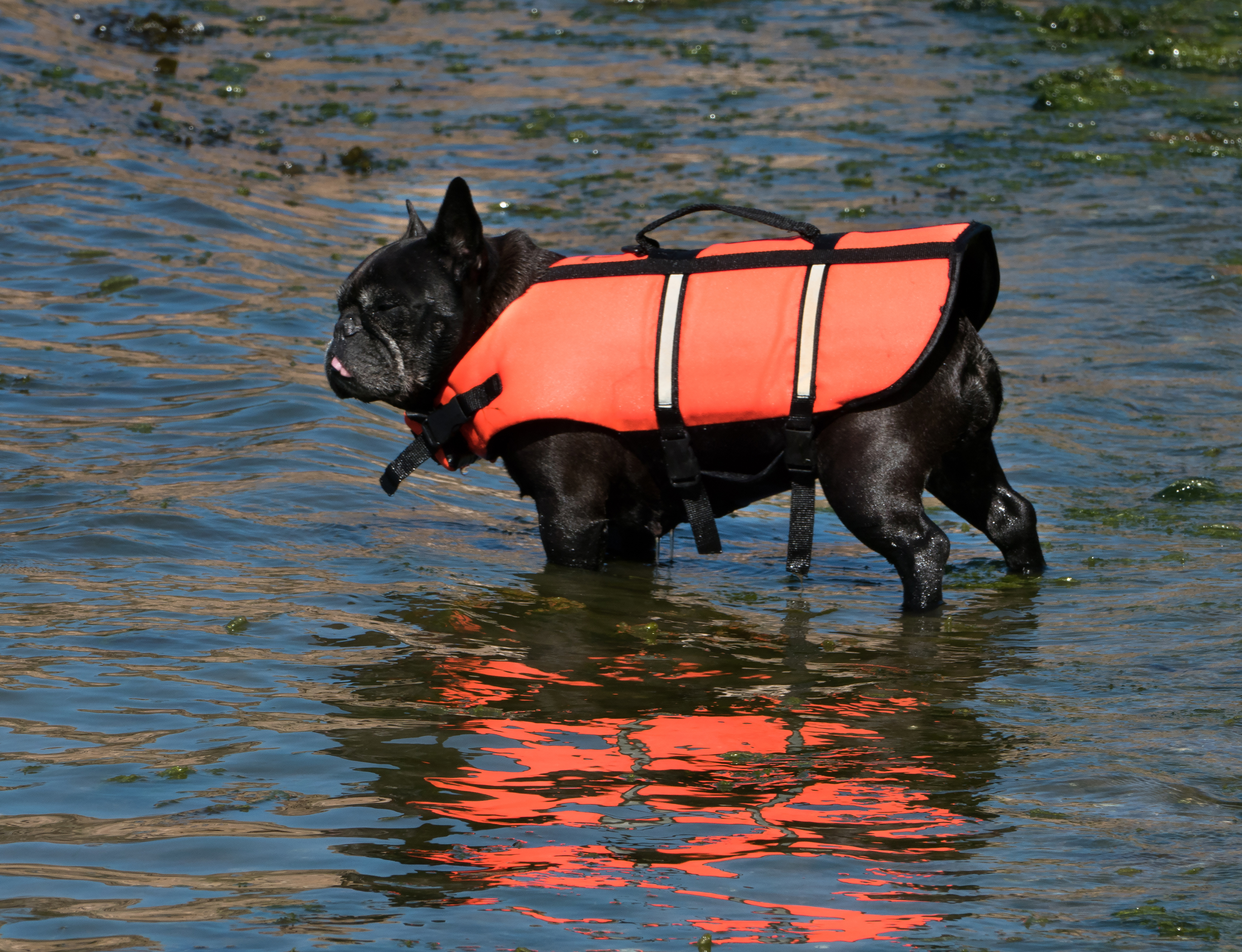 file:black french bulldog in life jacket - wikimedia commons