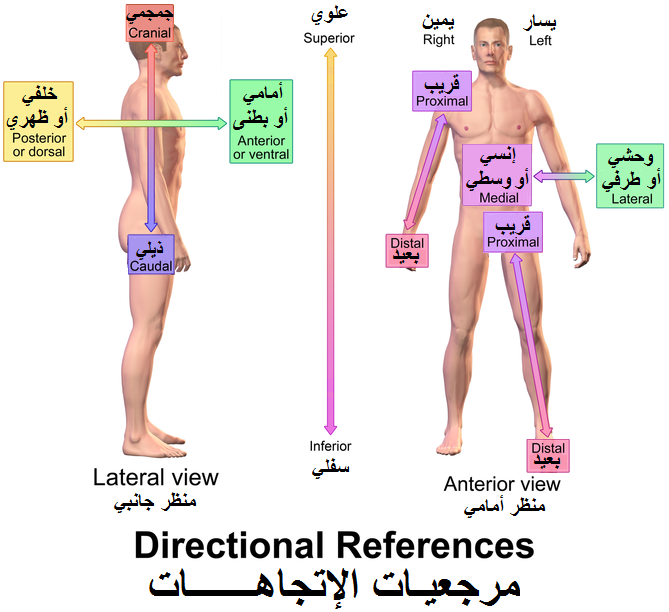 What does anterior mean in anatomy
