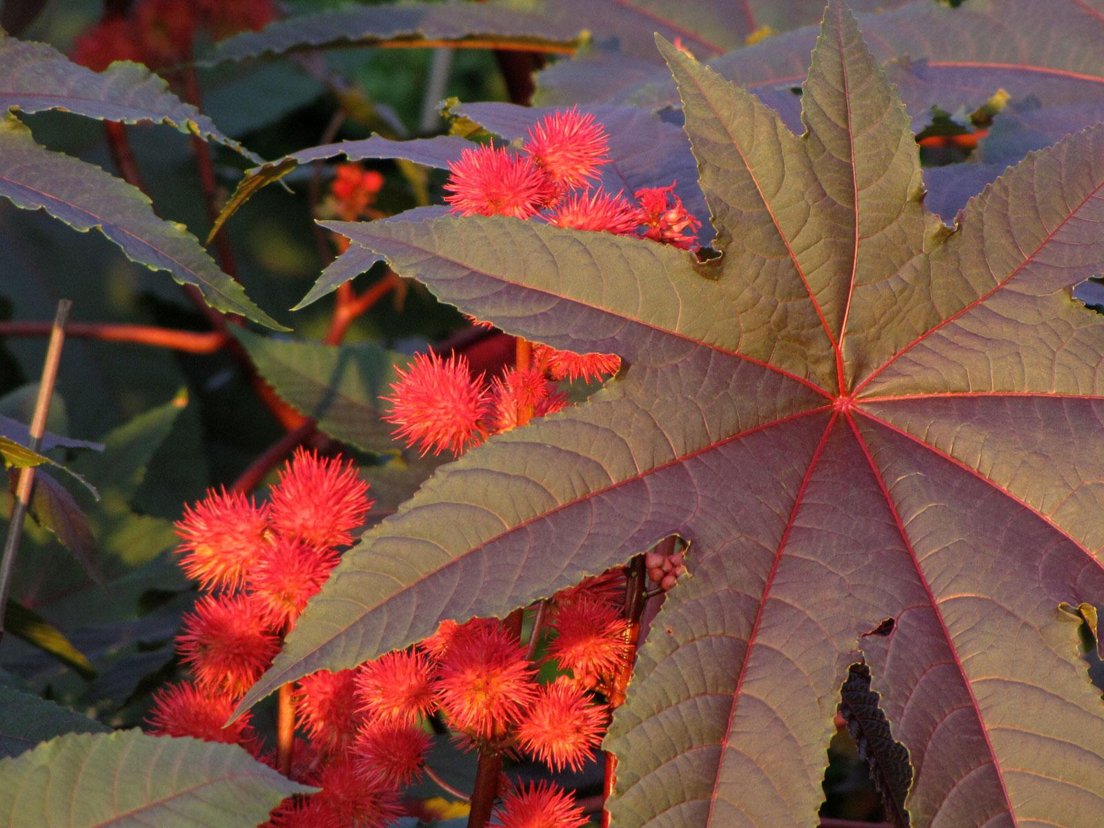 Datei:Castor Oil Plant - Flickr - treegrow.jpg – Wikipedia