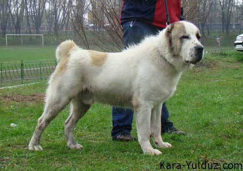 Central Asian Shepherd Dog For Sale Cyprus