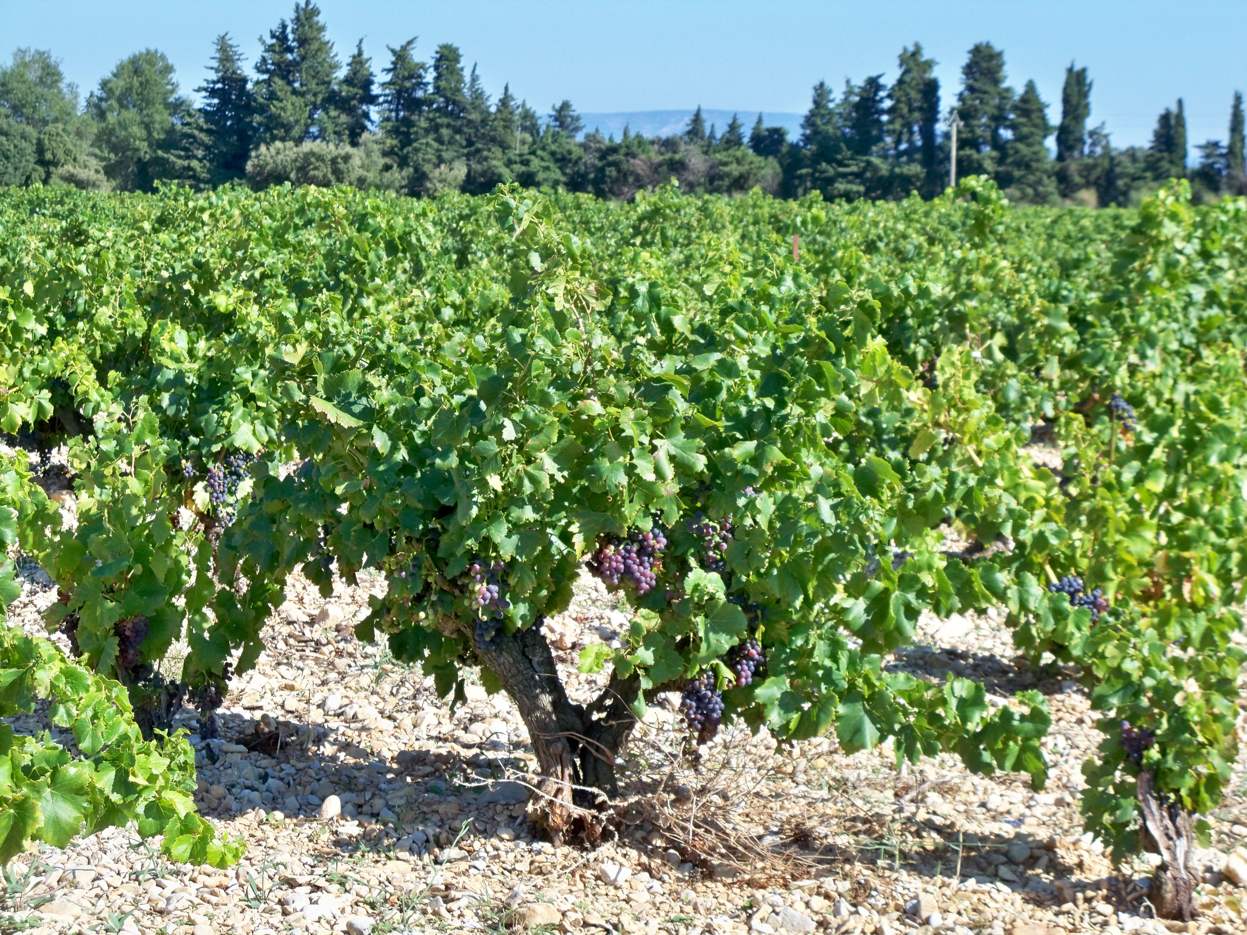File cep de wikimedia commons for Cep de vigne decoration
