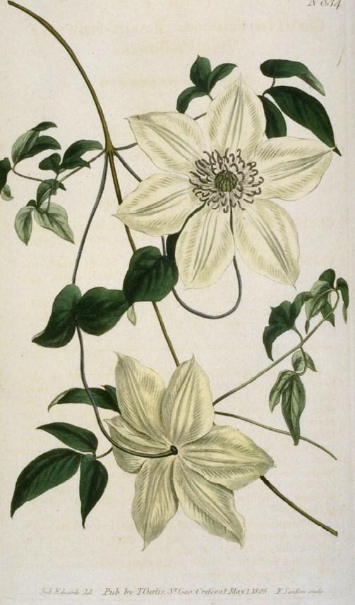 Clematis florida wikispecies for Clematis florida