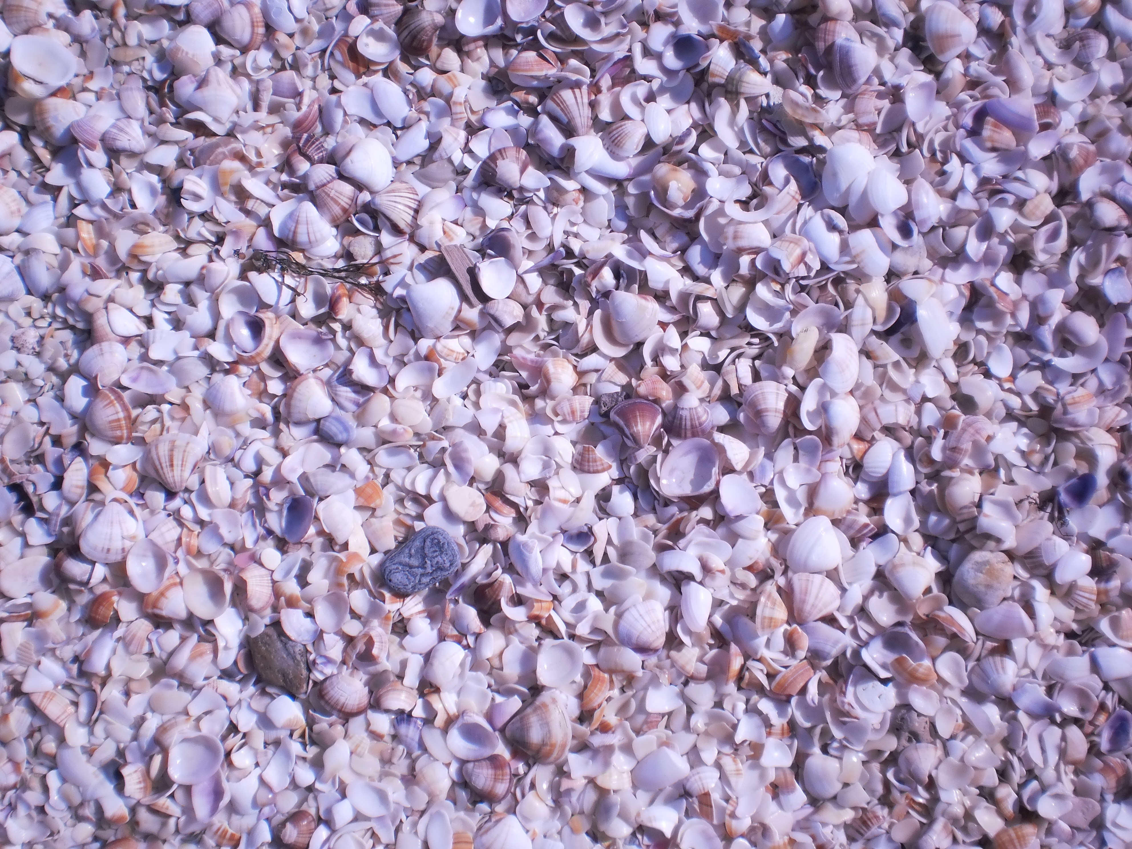 Description Conchas Marinas de La Restinga 5.JPG