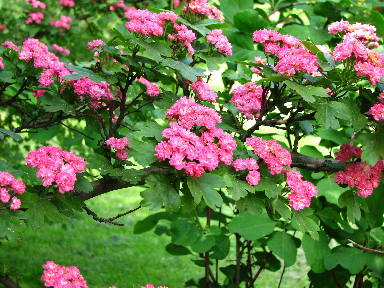 File crataegus laevigata 01 jpg wikimedia commons for Arboles florales para jardin
