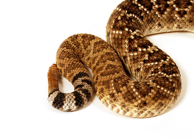 Crotal Diamantin file:crotalus atrox crotale diamantin ouest 49 - wikimedia commons