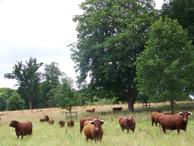 Devon Red Cattle, Kingston Lacy - geograph.org.uk - 884575