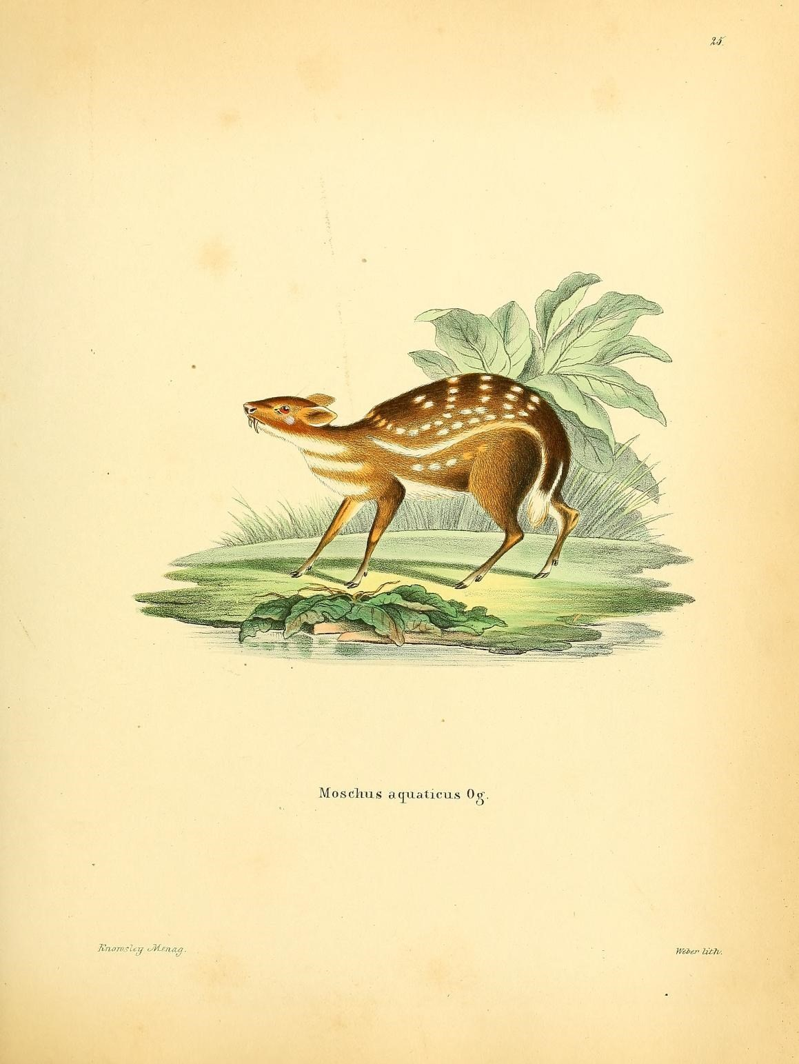 Water Chevrotain Wikipedia