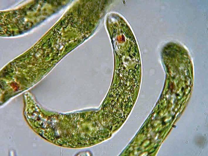 Mikroskopický záber červenoočiek