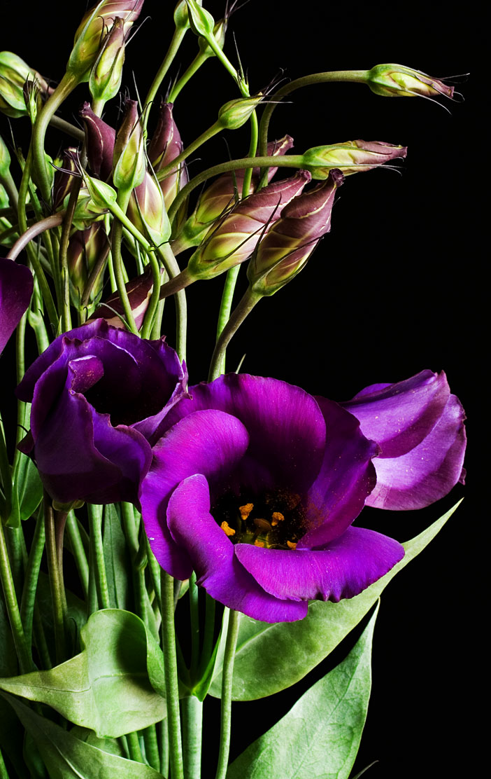 eustoma  wikipedia, Natural flower
